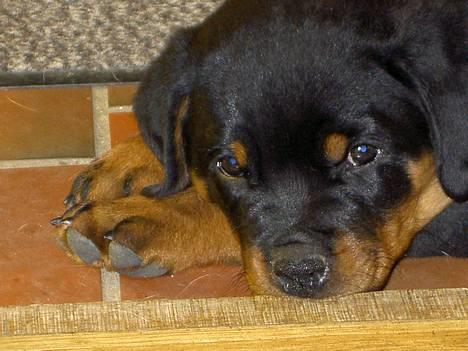 Rottweiler Chaco - Chaco juli 2005 billede 3