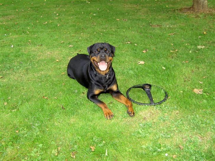 Rottweiler Chaco - Februar 2007 billede 5