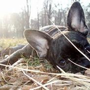 Fransk bulldog Lola