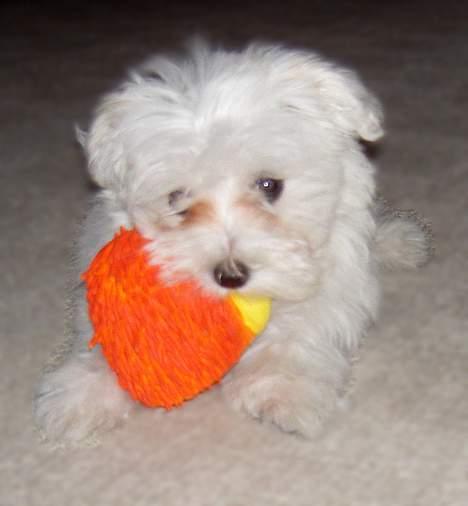 Malteser Wagge - Jeg har fanget et pibedyr - jeg er en modig hund! billede 3