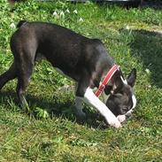 Boston terrier Apoko
