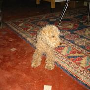 Lakeland terrier Blondie :o) <3