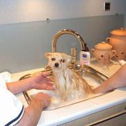 Pomeranian Alf