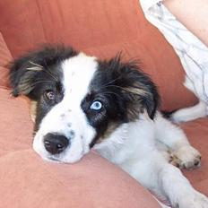 Border collie Nico