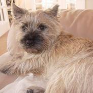 Cairn terrier Balder