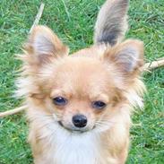 Chihuahua Toffi R.I.P.