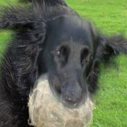 Flat coated retriever † Aladin - RIP †