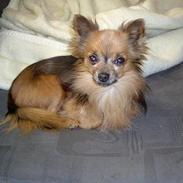 Chihuahua Nikki 1999-2007