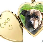 Amerikansk staffordshire terrier coco