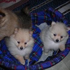 Pomeranian sussi