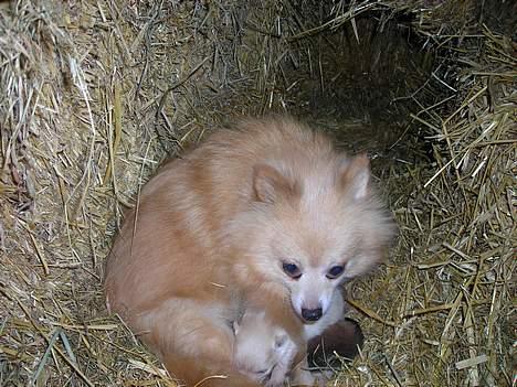Pomeranian sussi - Sussi har lige fået 4 hvalpe . 3 hanner og 1 hun .den passer godt på dem  billede 2