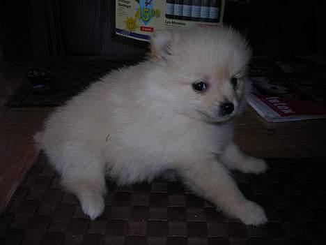 Pomeranian sussi - en lille han hvalp  på 7 uger . billede 3