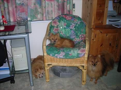 Pomeranian sussi - sussi til venstre. Mille i stolen . og Buster. vores hanhund.hygger sig  i køkkenet billede 5