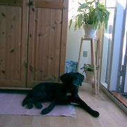 Labrador retriever Tyson