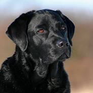 Labrador retriever KBHVV2017 Lotus
