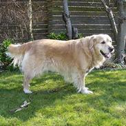 Golden retriever Basse