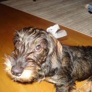 Gravhund Ruhåret Eddie RIP November 2017