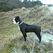 Olde victorian bulldogge Virup's Dixie aka Kiwi