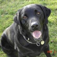 Labrador retriever Henneberg´s Elvis <3