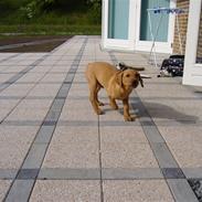 Labrador retriever (Formel 1) Exit