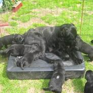Flat coated retriever Joy