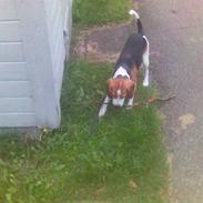 Beagle Tinka * Himmelhund *