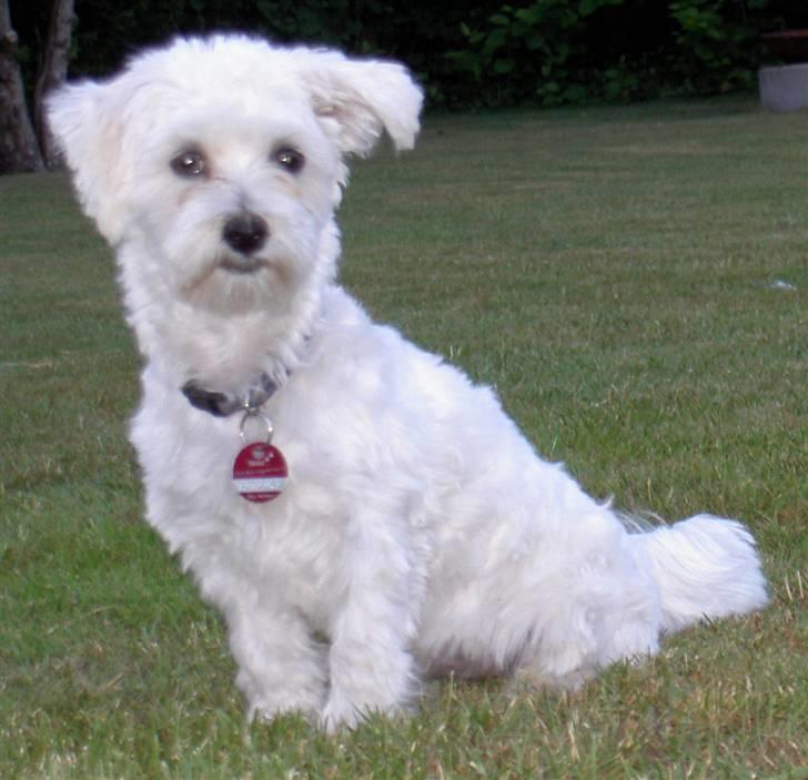 Malteser Wagge - Jeg er lige blevet klippet og poserer for fotografen - fin hund, ikke? billede 11
