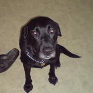 Labrador retriever Mollie *R.I.P* 27-12-2007