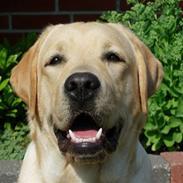 Labrador retriever Posters Sparkling Ozzy