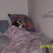 Amerikansk staffordshire terrier Trunte