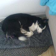Border collie Cleo RIP lille tøs