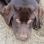 Labrador retriever Cawi