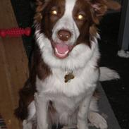 Border collie Bonnie