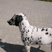 Dalmatiner Bella (potte)