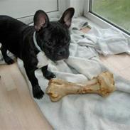 Fransk bulldog Kenzo