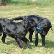 Flat coated retriever Money