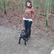 Amerikansk staffordshire terrier Heros (Omplaceret)
