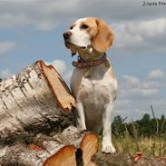 Beagle **Aiya**
