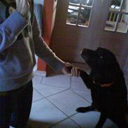 Labrador retriever sif (Død) :/  Savnet.