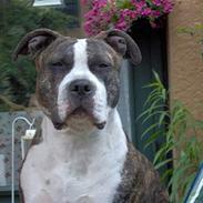 Amerikansk staffordshire terrier princess