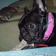 Fransk bulldog A´La´Coccio´s Coco Patcha