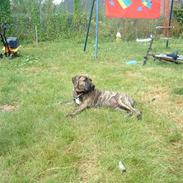Dogo canario Leonardo (R.I.P)