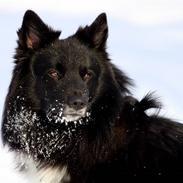 Islandsk fårehund Balder