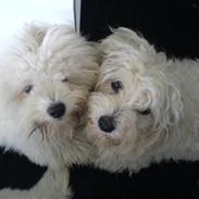 Coton de tulear Basil (Hundehimlen tog imod ham d. 18.03.2014)