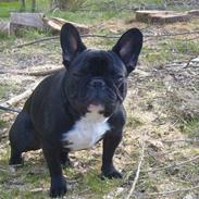 Fransk bulldog fie