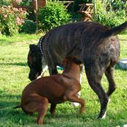 Amerikansk staffordshire terrier Zia