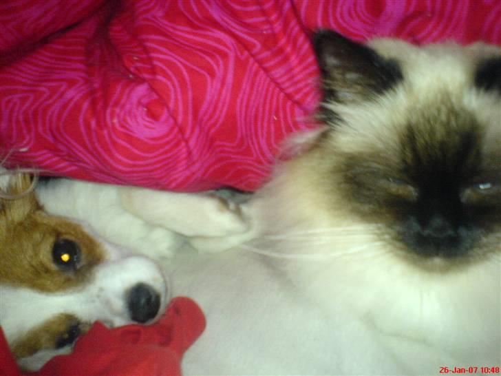 1cea4475dd462e Papillon Chanel - Billeder af hunde - Uploaded af Camilla F