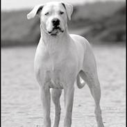 Dogo argentino Emilia