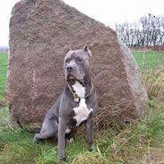 Amerikansk staffordshire terrier Bonzo *Himmelhund, den smukkeste af alle*