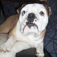 Engelsk bulldog Akki